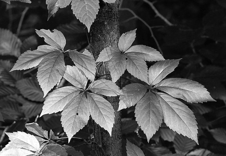 Black and White Gallery - Fall Leaves